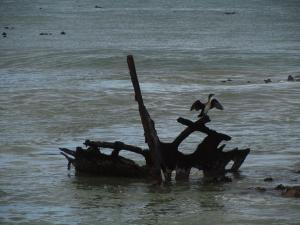 IMG 1701 - Aalscholver bij pinguinkolonie Bettys Bay