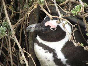 IMG 1706 - Pinguinkolonie Bettys Bay