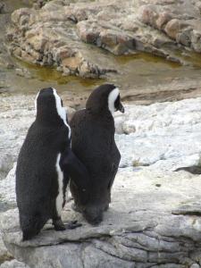 IMG 1731 - Pinguinkolonie Bettys Bay