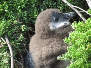 IMG 1747 - Pinguinkolonie Bettys Bay