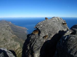 IMG 1367 - Suicidale dassies op Tafelberg