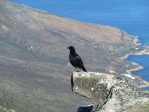 IMG 1372 - Onbekende vogel op Tafelberg
