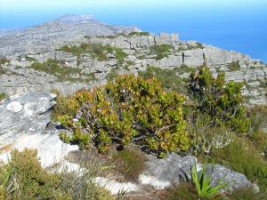 IMG 1374 - Fynbos op Tafelberg