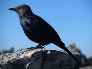 IMG 1393 - Onbekende vogel op Tafelberg