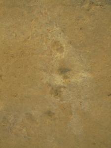 IMG 2267 - Vijftenige dino sporen Leribe