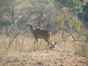 IMG 2322 - Koedoe Kruger NP
