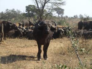IMG 2356 - Buffels Kruger NP
