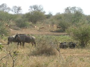 IMG 2367 - Impalas en gnoes Kruger NP