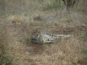 IMG 2396 - Cheeta Kruger NP