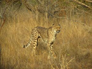 IMG 2413 - Cheeta Kruger NP