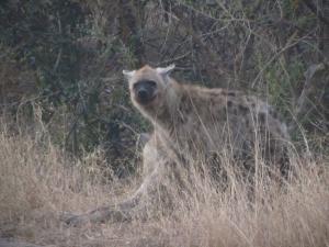IMG 2424 - Hyenas Kruger NP
