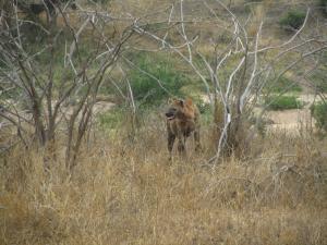 IMG 2440 - Hyeana Kruger NP