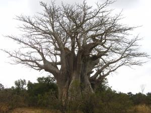 IMG 2453 - Zuidelijkste baobab Kruger NP