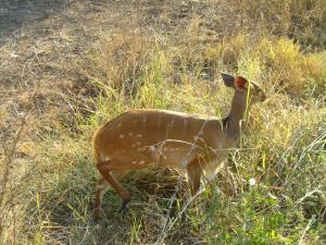 IMG 2468 - Bosbok Kruger NP