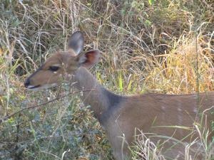 IMG 2473 - Bosbok Kruger NP
