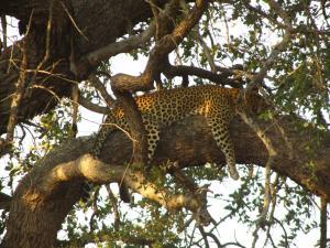 IMG 2482 - Luipaard in boom Kruger NP