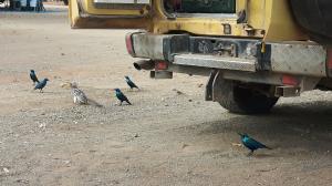 20170730 134831 - Vogelgekte bij de kanarie, Kruger NP