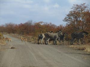 IMG 2500 - Impalas en zebras Kruger NP