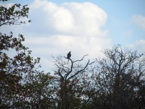 IMG 2542 - Roofvogel met slang als prooi Kruger NP
