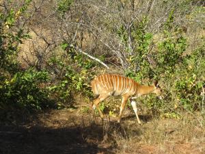 IMG 2589 - Nyala Kruger NP