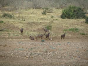 IMG 2612 - Tsessebes Kruger NP