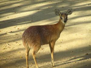 IMG 2626 - Grijsbok Kruger NP