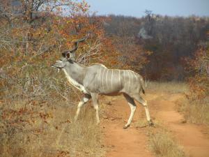 IMG 2680 - Koedoe, blijft mooi, Kruger NP