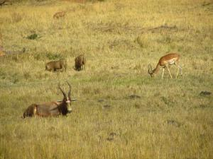IMG 3042 - Blesbok, impalas en wrattenzwijnen Mlilwane NR