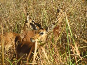 IMG 3077 - Impalas Mlilwane WS