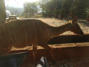 IMG 3127 - Nyala bij kanarie Mlilwane WS