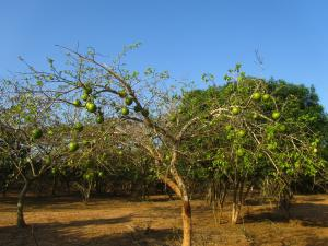 IMG 3189 - Soort kokosnotenboom Bushbaby lodge