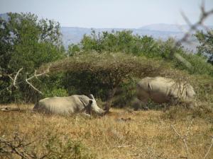 IMG 3239 - Witte neushoorns Hluhluwe NP