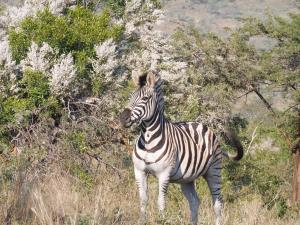 P1010326 - Zebra Hluhluwe NP Foto Nicole