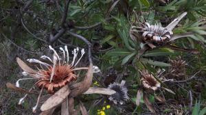20170825 135719 - Bloemen op Lions Head Kaapstad