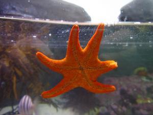 IMG 3670 - Zeester Two Oceans Aquarium Kaapstad
