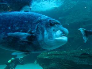 IMG 3681 - Lelijke vis Two Oceans Aquarium Kaapstad