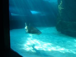 IMG 3689 - Tijgerhaai Two Oceans Aquarium Kaapstad