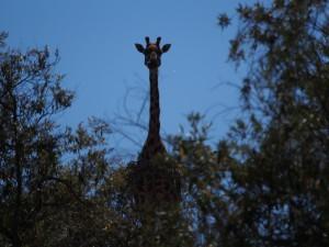 P1039295 - Giraffe Hells Gate NP