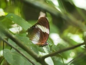 P1069597 - Vlinder Kakamega Forest NR