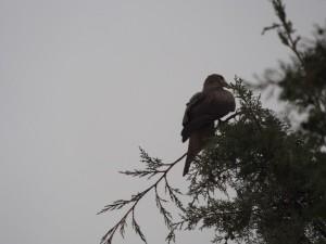 PB246901 - Roofvogel