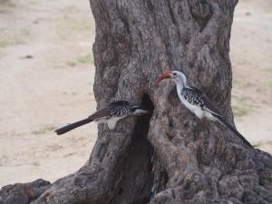 PB267224 - Hornbills in Abiata Shalla NP