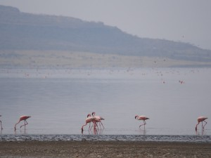 PB267243 - Flamingos Abiata meer in Abiata Shalla NP