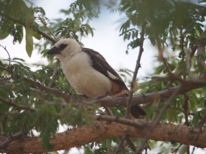 PB267265 - Vogel in Abiata Shalla NP