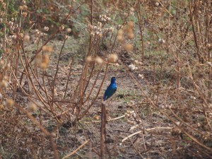 PB267267 - Vogel in Abiata Shalla NP