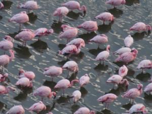 PB277354 - Flamngos in Chitu meer