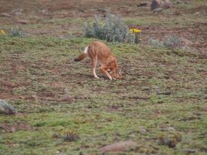 PB307589 - Ethiopische wolf Bale Mountains NP