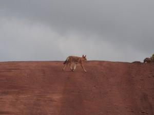 PB307596 - Ethiopische wolf Bale Mountains NP