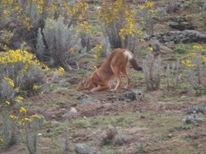 PB307604 - Ethiopische wolf Bale Mountains NP