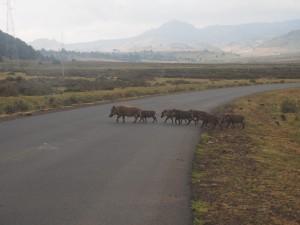 PB307644 - Wrattenzwijnen Bale Mountains NP