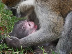 PB307668 - Vervet apen Hawassa meer